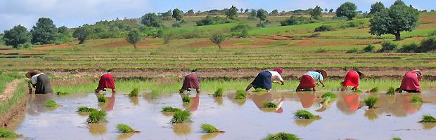 Pirinç tarlasında çalışan köylüler.